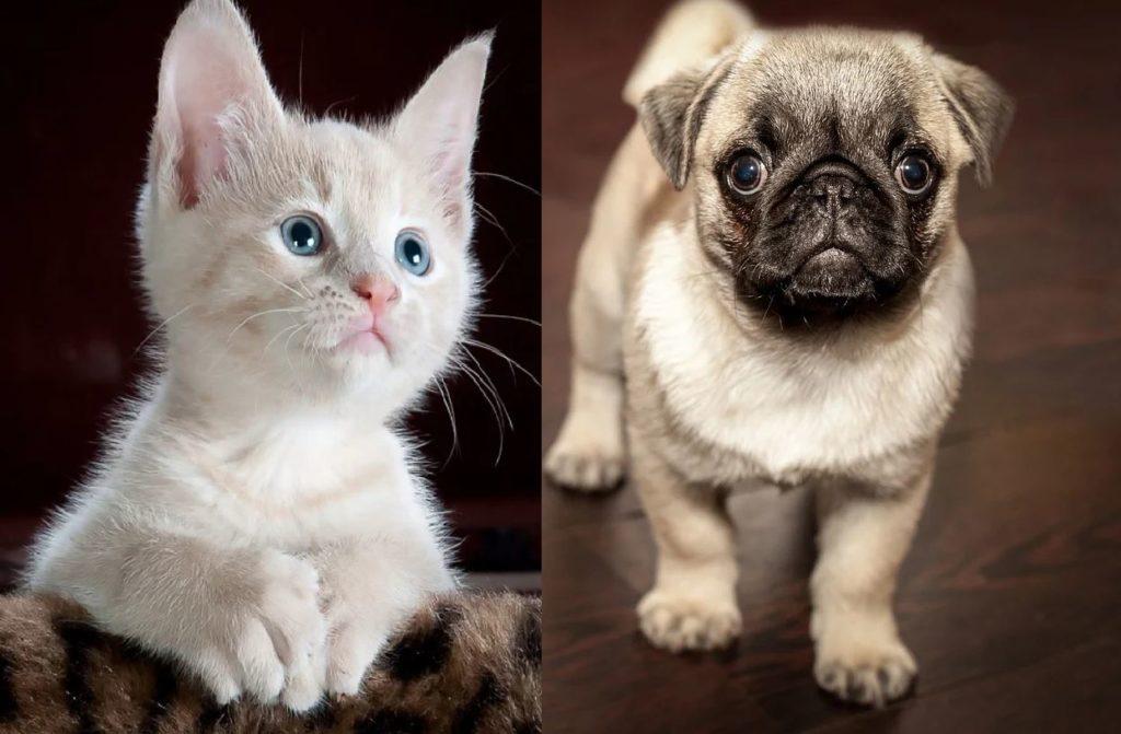 photo-jeune-chat-chien